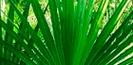 Serenoa-Repens.jpg